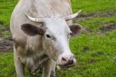 Αγελάδα με τη γλώσσα Στοκ φωτογραφία με δικαίωμα ελεύθερης χρήσης