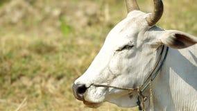 Αγελάδα με τη συμπεριφορά μασήματος φιλμ μικρού μήκους