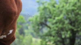 Αγελάδα με το κουδούνι Κουδούνι στο λαιμό των βοοειδών απόθεμα βίντεο