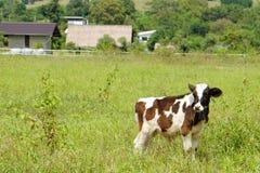 Αγελάδα με το υπόβαθρο naute Στοκ φωτογραφία με δικαίωμα ελεύθερης χρήσης