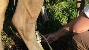 Αγελάδα μηχανών γάλακτος γαλακτοπωλών απόθεμα βίντεο