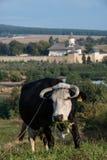 Αγελάδα μπροστά από το μοναστήρι Probota Στοκ Εικόνες