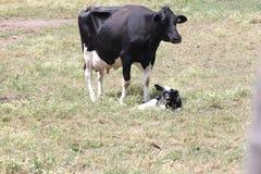 Αγελάδα & μόσχος Χολστάιν στον τομέα Στοκ Φωτογραφία