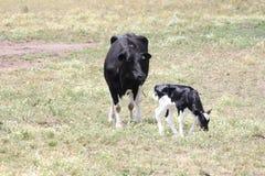 Αγελάδα & μόσχος Χολστάιν στον τομέα Στοκ εικόνα με δικαίωμα ελεύθερης χρήσης