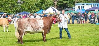 Αγελάδα νίκης βραβείων στο δαχτυλίδι σε Grantown Στοκ φωτογραφία με δικαίωμα ελεύθερης χρήσης