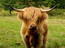 Αγελάδα ορεινών περιοχών με τα μάτια που καλύπτονται από το δασύτριχο Μάιν Στοκ εικόνες με δικαίωμα ελεύθερης χρήσης