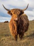 Αγελάδα ορεινών περιοχών που βλέπει σε έναν τομέα στις κοιλάδες του Γιορκσάιρ στοκ φωτογραφία