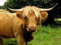 Αγελάδα ορεινών περιοχών που κοιτάζει αδιάκριτα μέσω των κτυπημάτων περιθωρίου Στοκ Εικόνες