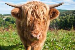 Αγελάδα ορεινών περιοχών που κοιτάζει κάτω από το φακό καμερών Στοκ εικόνες με δικαίωμα ελεύθερης χρήσης