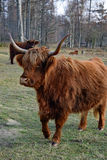 Αγελάδα ορεινών περιοχών που περπατά εδώ κοντά Στοκ φωτογραφία με δικαίωμα ελεύθερης χρήσης