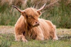 Αγελάδα ορεινών περιοχών που τρώει τη χλόη Στοκ φωτογραφία με δικαίωμα ελεύθερης χρήσης
