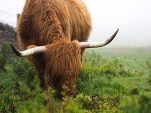 Αγελάδα ορεινών περιοχών στην υδρονέφωση Στοκ εικόνα με δικαίωμα ελεύθερης χρήσης