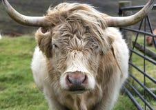 Αγελάδα ορεινών περιοχών Στοκ εικόνες με δικαίωμα ελεύθερης χρήσης
