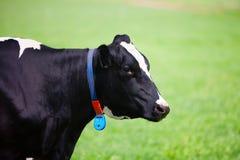 αγελάδα ολλανδικά Στοκ Φωτογραφίες
