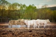 Αγελάδα που εξετάζει τη κάμερα στο ηλιοβασίλεμα στοκ φωτογραφίες με δικαίωμα ελεύθερης χρήσης