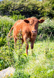 Αγελάδα που μασά τον τροφικό βόλο στο looe Κορνουάλλη UK Αγγλία Στοκ φωτογραφία με δικαίωμα ελεύθερης χρήσης