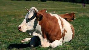 Αγελάδα που στηρίζεται και που μασά φιλμ μικρού μήκους