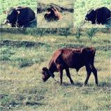 Αγελάδα που τρώει μια πράσινη χλόη, πράσινη χλόη στο πρώτο πλάνο και το υπόβαθρο, εκλεκτής ποιότητας ελαφριά επίδραση χρώματος πρ Στοκ Φωτογραφία