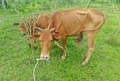 Αγελάδα που τρώει την πράσινη χλόη στον κήπο Στοκ φωτογραφία με δικαίωμα ελεύθερης χρήσης