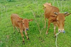 Αγελάδα που τρώει την πράσινη χλόη στον κήπο Στοκ Φωτογραφίες