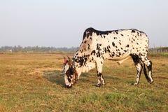 Αγελάδα που τρώει τη χλόη στον τομέα Στοκ εικόνα με δικαίωμα ελεύθερης χρήσης