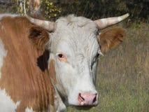 Αγελάδα που φαίνεται μπροστά-πορτρέτο Στοκ εικόνα με δικαίωμα ελεύθερης χρήσης