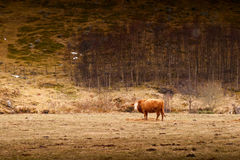 Αγελάδα σε έναν τομέα Στοκ φωτογραφίες με δικαίωμα ελεύθερης χρήσης