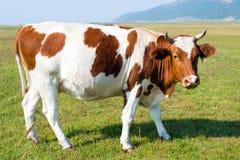 Αγελάδα σε ένα λιβάδι Στοκ Εικόνα