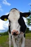 Αγελάδα σε ένα πεδίο Στοκ Φωτογραφία
