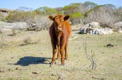 αγελάδα σοβαρή Στοκ Φωτογραφίες
