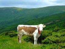 Αγελάδα στα βουνά Στοκ Φωτογραφία
