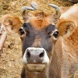 Αγελάδα στα βουνά Karakorum, Πακιστάν Στοκ Εικόνα