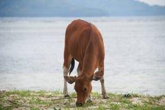 Αγελάδα στην παραλία Στοκ Φωτογραφία
