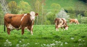 Αγελάδα στην πράσινη φύση λιβαδιών Στοκ Εικόνες
