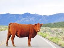 Αγελάδα στη μέση της οδού Questa 0 5 30 38 102 110 που χορηγούν την απογραφή γραφείων περιοχών περιοχής που ψαλιδίζει τους χρωματ Στοκ Εικόνα