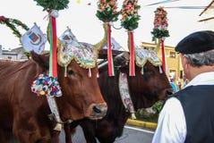 Αγελάδα στη Σαρδηνία, Ιταλία Στοκ φωτογραφίες με δικαίωμα ελεύθερης χρήσης