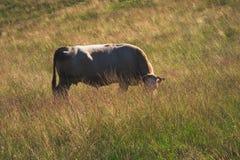 Αγελάδα στη χλόη Στοκ φωτογραφίες με δικαίωμα ελεύθερης χρήσης