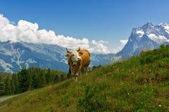 Αγελάδα στο ειδυλλιακό αλπικό τοπίο, τα βουνά Άλπεων και την επαρχία το καλοκαίρι στοκ φωτογραφίες