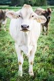 Αγελάδα στο λιβάδι Στοκ Φωτογραφίες