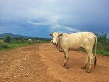 Αγελάδα στο λιβάδι Στοκ Εικόνες