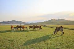 Αγελάδα στο πράσινο λιβάδι το καλοκαίρι Στοκ Εικόνες