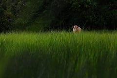 Αγελάδα στο πράσινο πεδίο χλόης Στοκ εικόνα με δικαίωμα ελεύθερης χρήσης