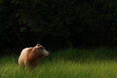 Αγελάδα στο πράσινο πεδίο χλόης Στοκ Εικόνες