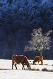 Αγελάδα στο χιόνι Στοκ Εικόνα