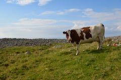 Αγελάδα τιμαλφών αντικειμένων Στοκ Εικόνα