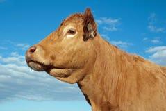 Αγελάδα του Λιμουζέν Στοκ Εικόνες