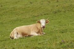 Αγελάδα του Τζέρσεϋ που βρίσκεται στον πράσινο τομέα Στοκ Φωτογραφίες