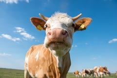 αγελάδα χαριτωμένη Στοκ Εικόνες
