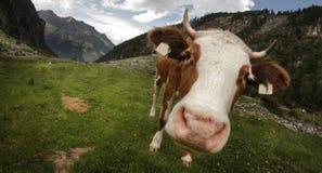 Αγελάδα ψάρι-ματιών Στοκ Φωτογραφίες
