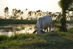 Αγελάδα στοκ εικόνα με δικαίωμα ελεύθερης χρήσης